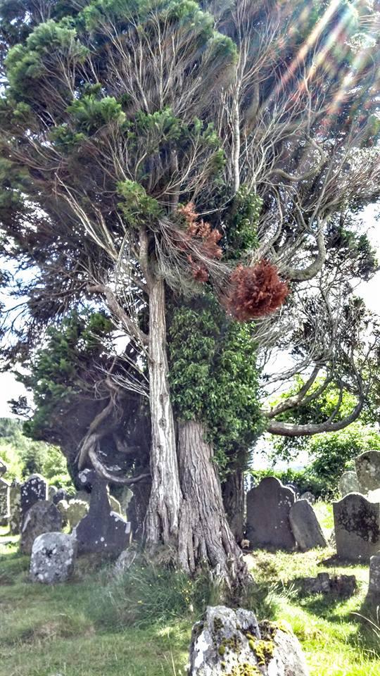 glendalough-tree