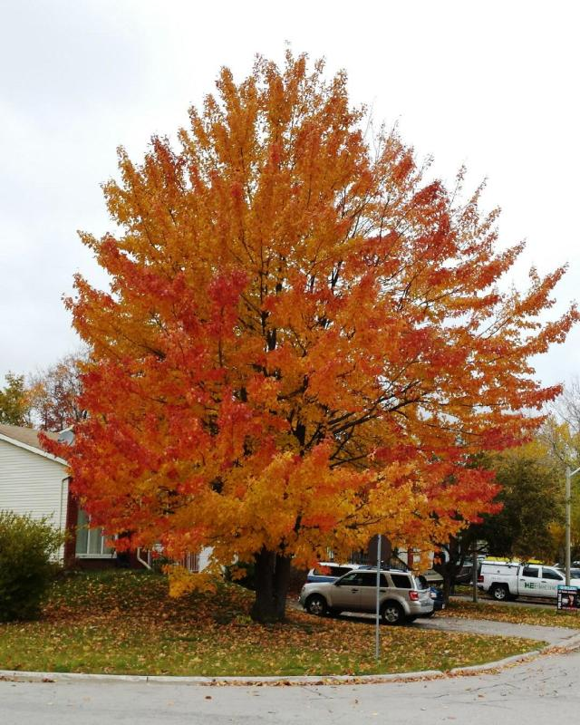flaming-maple