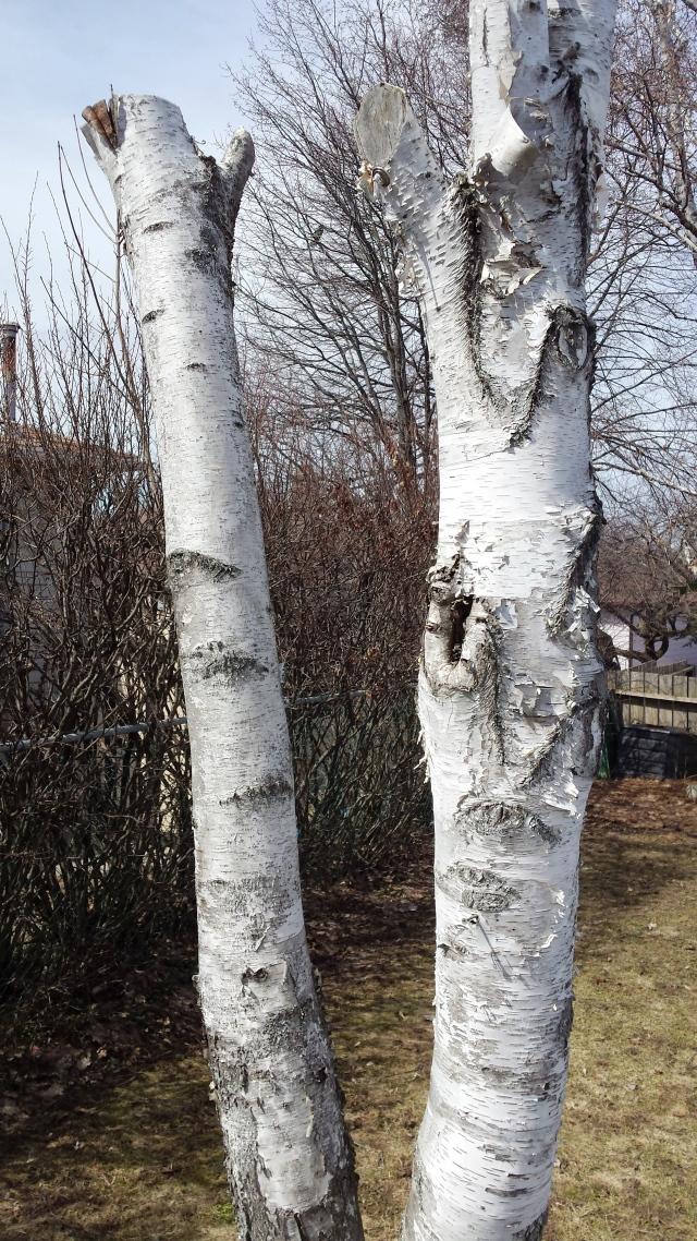 Silver Birch II