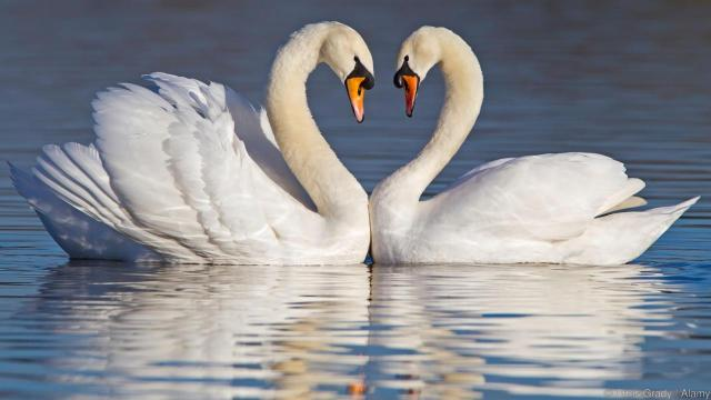 MUTE SWANS FORMING A HEART SHAPE WITH THEIR NECKS DURING COURTSHIP