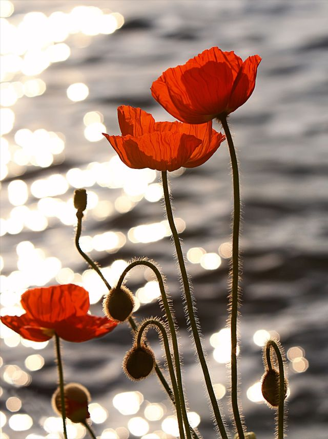 1200px-Poppies_in_the_Sunset_on_Lake_Geneva