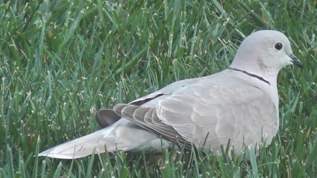 White Grey Mourning Dove